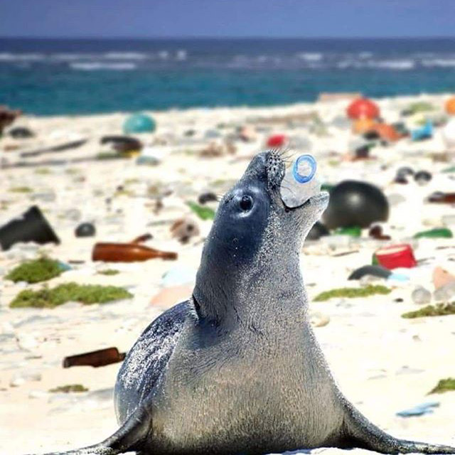 sea lion with plastic bottle in mouth
