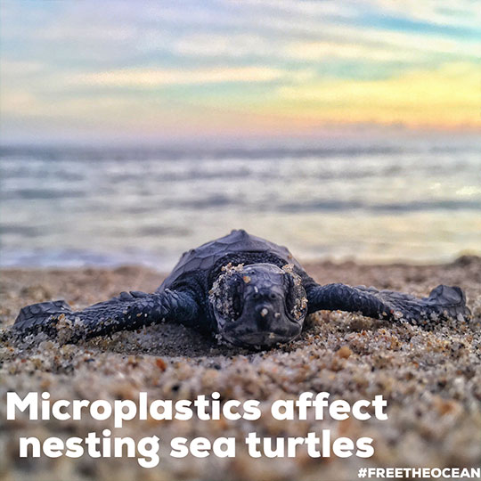 microplastics affect nesting sea turtles